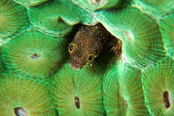 Small blenny, as big as a small bean. by Juan Torres 
